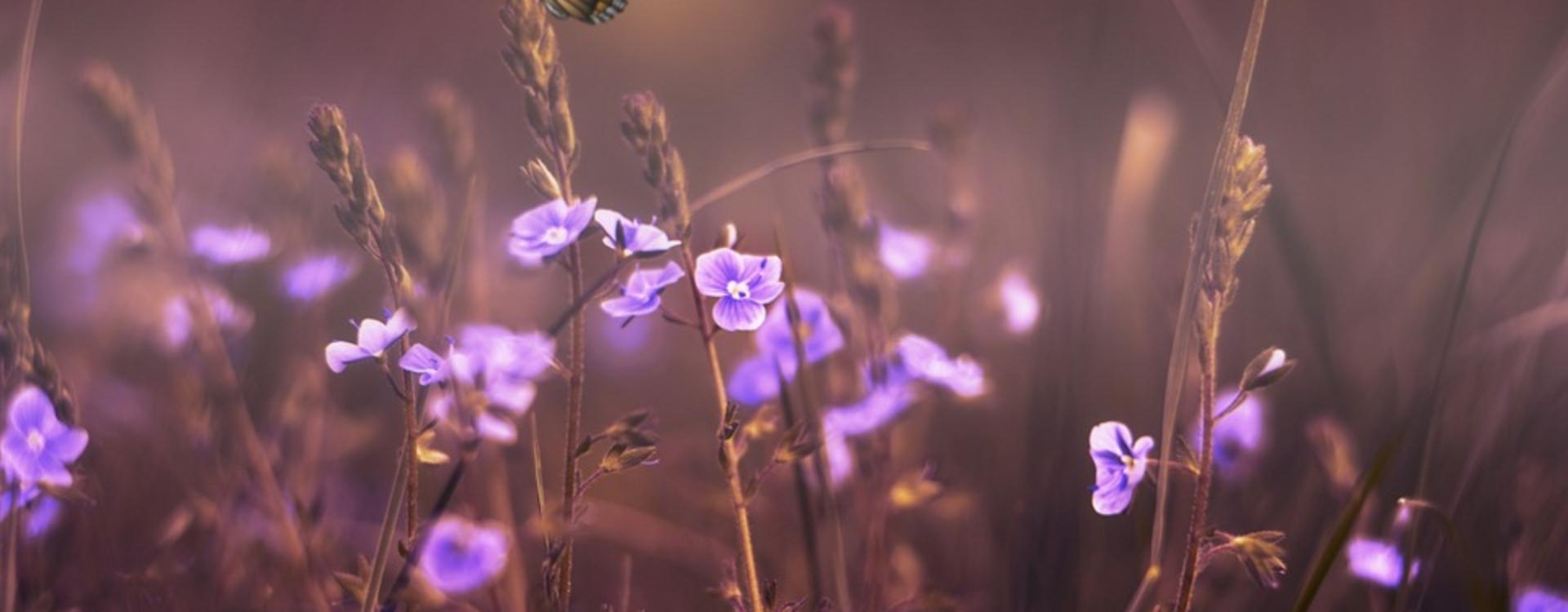 papillon_fleurs_violettes